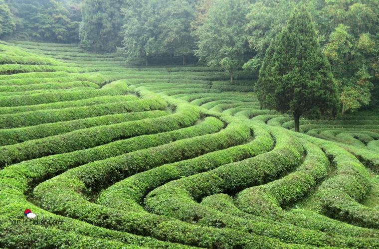 plantation de thé de Boseong