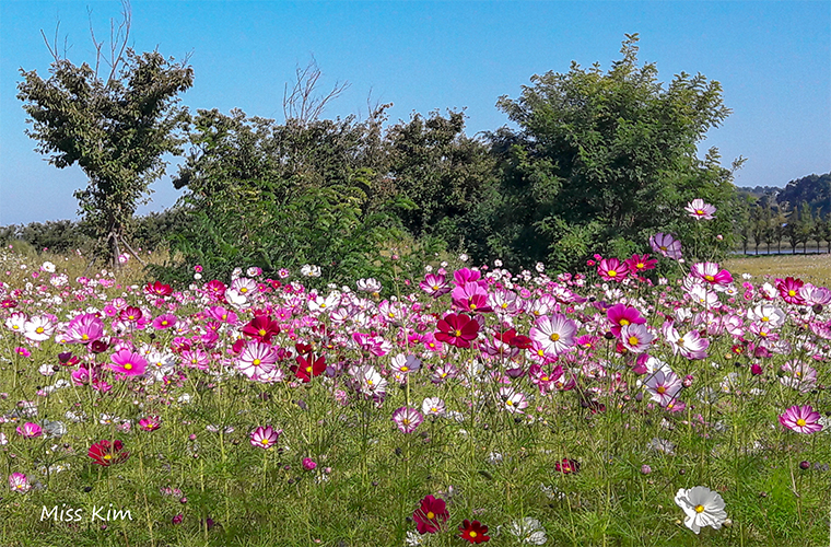Les cosmos du parc écologique de Gyeongpo