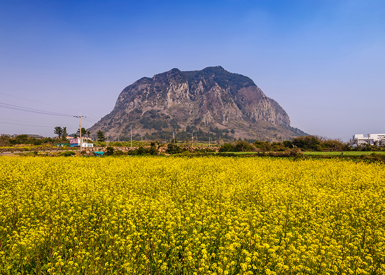 Canola-field-Jeju-do-Sanbangsan-South-Korea