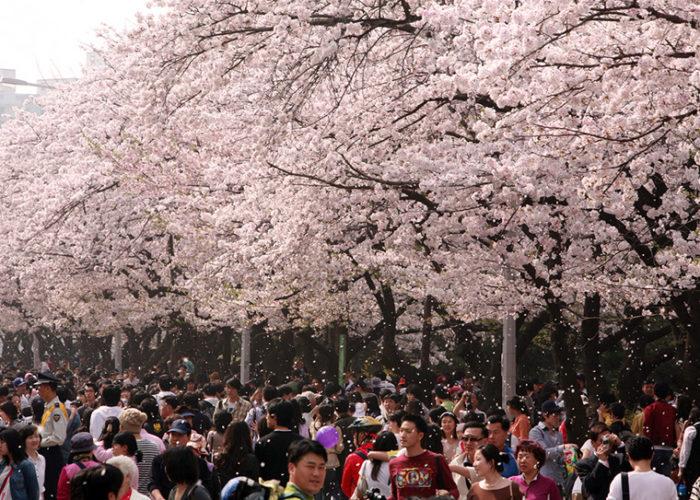 Hangang Yeouido Spring Flower Festival