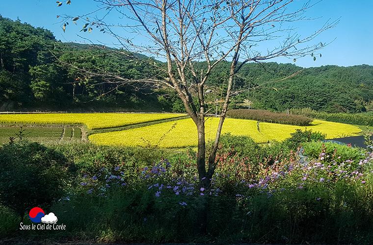 rizières de Corée du Sud