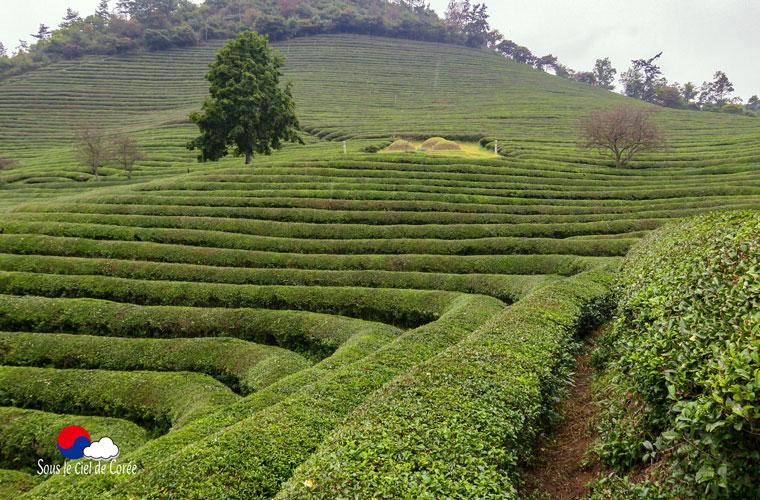 Plantation de thé de Boseong en Corée du Sud