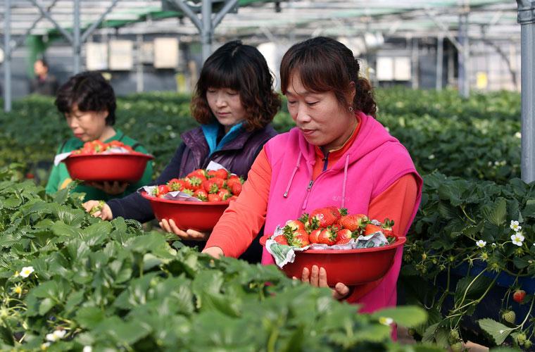 Récolte des fraises à Sancheong