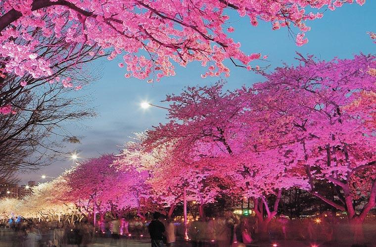 Cerisiers éclairés de nuit sur l'île de Yeouido à Séoul