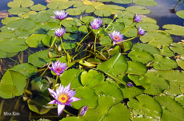 Fleurs de lotus en octobre à l'étang Gungnamji à Buyeo en Corée du Sud