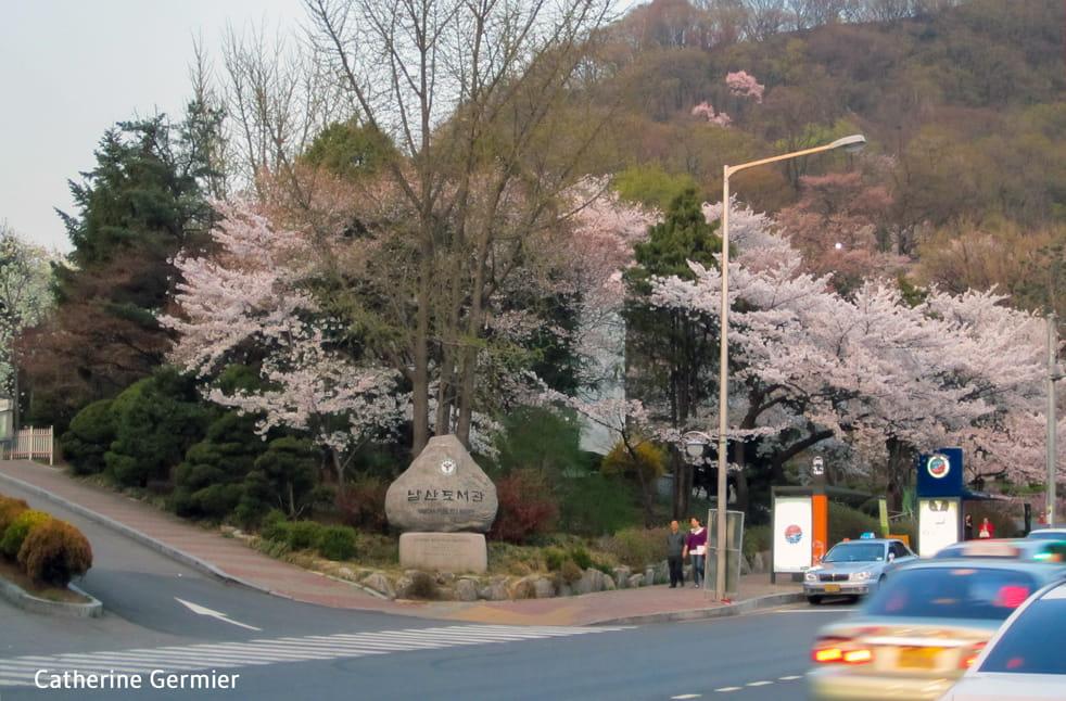 Cerisiers du Mont Namsan, Séoul