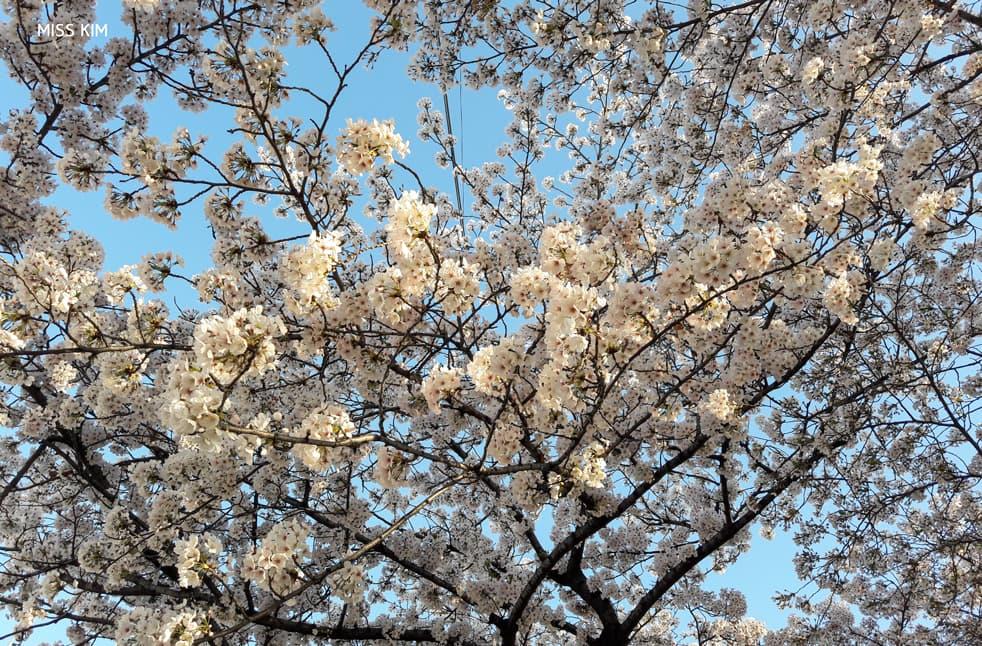 Cerisiers de la rue Yunjung sur l'île de Yeouido à Séoul