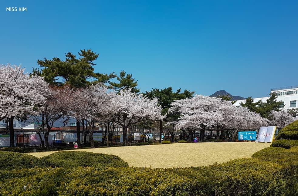 Cerisiers en fleurs, Bibliothèque Jeongdok, Séoul