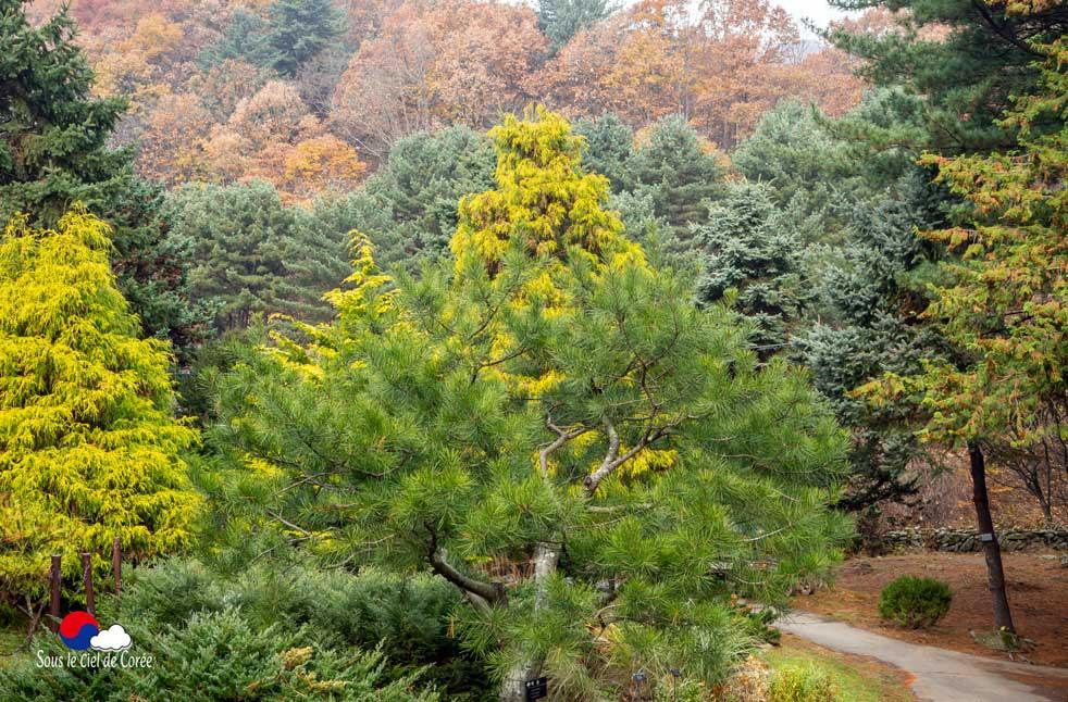 Les conifères du Jardin du Matin calme en Corée du Sud
