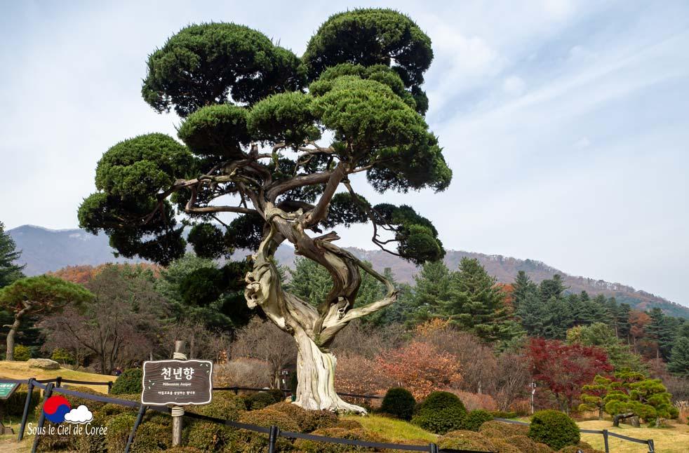 L'arbre Millenium Juniper du Jardin du Matin calme en Corée du Sud